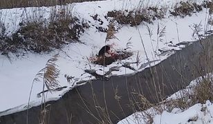 """""""Krew jest wszędzie"""". Wideo z polowania na dziki"""
