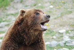 Kalifornia. Nastolatka rzuciła się na niedźwiedzia. Chciała ratować psy