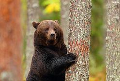 Kalifornia. Niedźwiedź wszedł do sklepu. W sieci krąży wideo