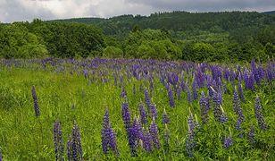 Karkonosze. Rwijcie kwiaty łubinu. To dla dobra górskiej przyrody - apeluje dyrekcja czeskiego parku