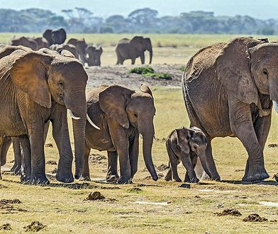 Naukowcy próbują wyjaśnić przyczynę masowego wymierania słoni