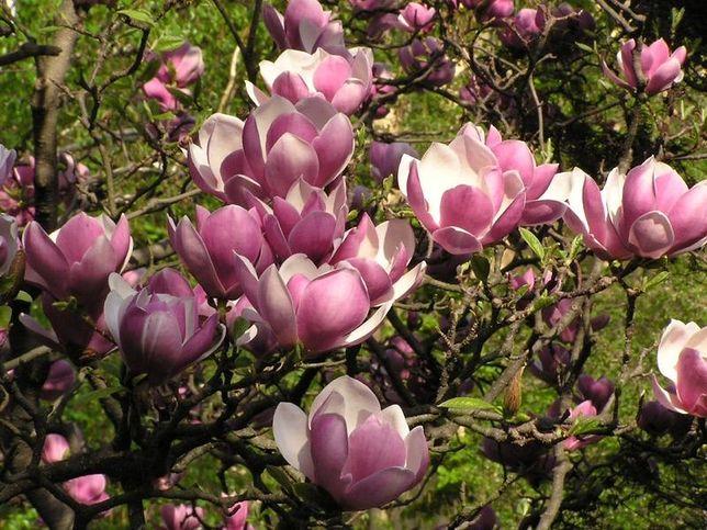 """""""W magnoliowym gaju"""" - spacer po Ogrodzie Botanicznym"""