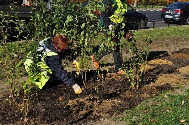 Jesienne sadzenie w Warszawie. Pojawi się kilkadziesiąt tysięcy nowych krzewów