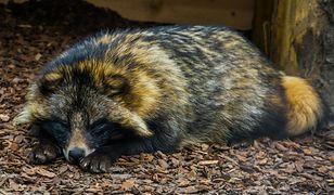 Jenot zaklinował się w ogrodzeniu jednej z posesji w Kozienicach. Policja uratowała przerażone zwierzę. Zobacz zdjęcia