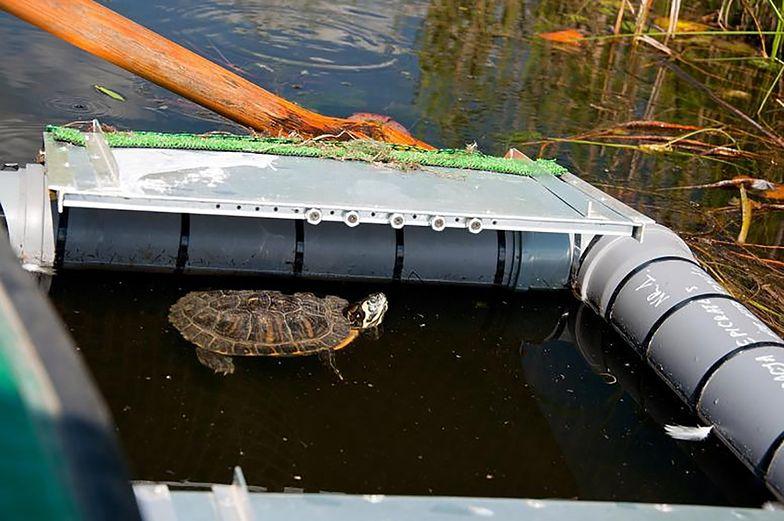 Wojownicze żółwie we wrocławskiej fosie miejskiej. Są niebezpieczne