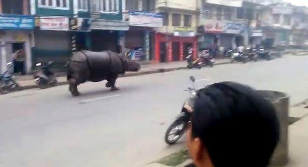 Atak nosorożca w mieście Hetauda. Jedna ofiara śmiertelna