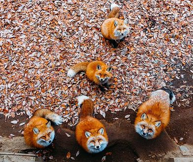 Lisy są przyzwyczajone do obecności turystów