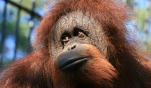 W gdańskim ZOO mieszka para orangutanów