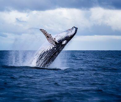 Decyzję Japonii potępiły rządy Australii i Nowej Zelandii, a także organizacje ekologiczne