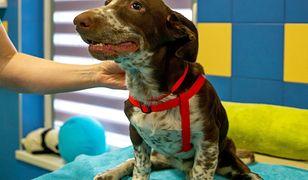 Pies Fijo podczas zabiegów rehabilitacyjnych