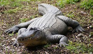 Powodzie w Australii: krokodyle i węże na ulicach miast. To największa powódź od 100 lat