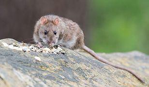 """Na Żoliborzu szczury biegają między przechodniami: """"w ukryciu jest ich znacznie więcej"""""""