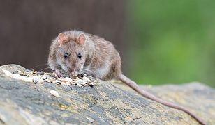 Szczury przy stacji Metro Centrum