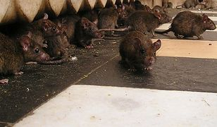 Szczury w mieście