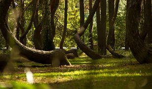 Krzywy las / zdjęcie ilustracyjne