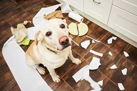 Labrador retriever - wygląd, charakter, pielęgnacja, cena