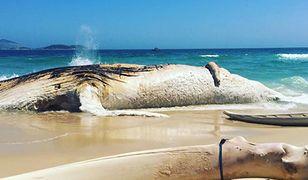 Jedno z największych zwierząt świata. Morze wyrzuciło na brzeg 30-tonowego giganta