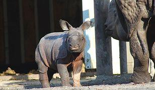 Pierwszy spacer małego nosorożca (ZDJĘCIA)