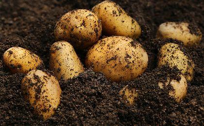 Ceny ziemniaków pójdą mocno w górę
