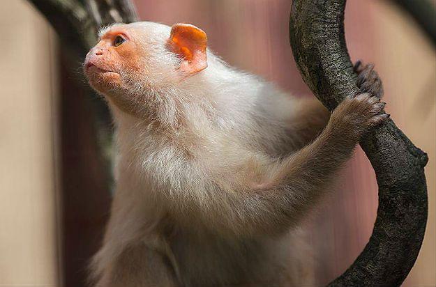 W płockim zoo zamieszkały marmozety białe
