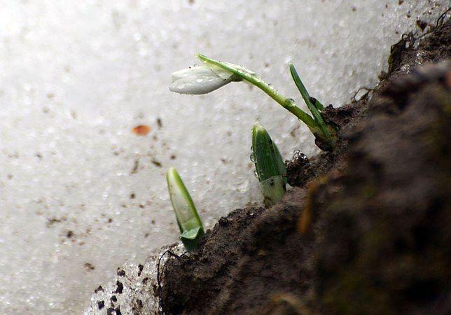 Pierwszy przebiśnieg w tym roku. Zwiastuje wiosnę