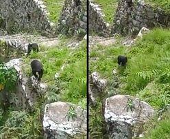 Niedźwiadki na spacerze po Machu Picchu. Wideo hitem internetu