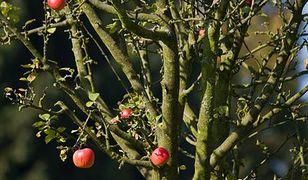 Lek na cukrzycę z jabłoni