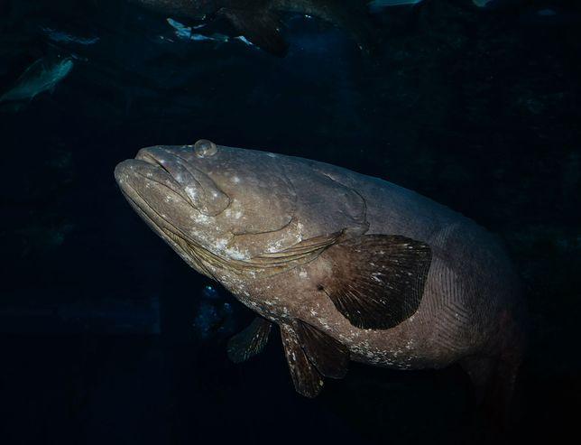 Ryba z gatunku graników pływająca w oceanie