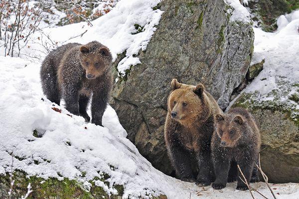 Lekki sen zimowy bieszczadzkich niedźwiedzi