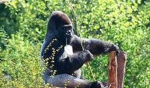 Najpiękniejszy goryl świata opuszcza Warszawę! (ZDJĘCIA)