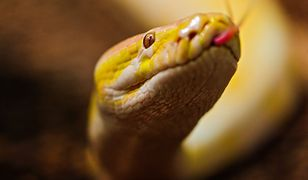 Dlaczego egzotyczne węże znajdują się na wolności?