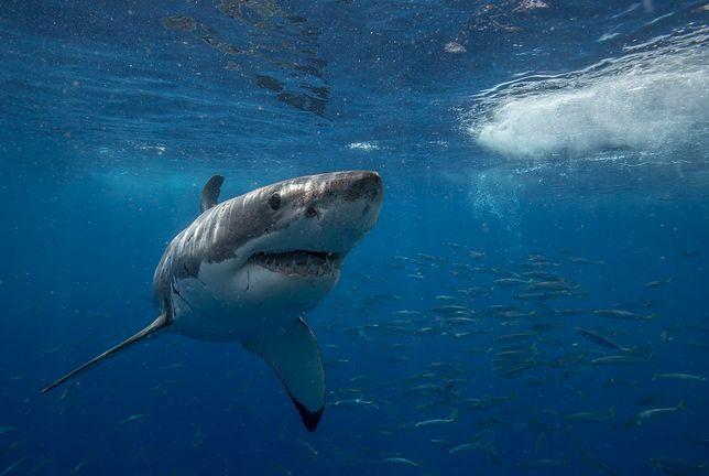 Rekiny przez 3 doby atakowały rozbitków z USS Indianapolis