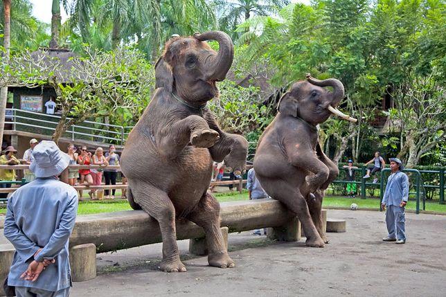 Słonie - dzikie zwierzęta w niewoli u człowieka