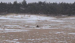 Fokę znaleziono w czwartek, 29 marca