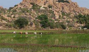 Sadzenie ryżu na pustyni jest możliwe