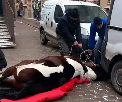 Sprawą konia, który padł w centrum Krakowa zajmie się prokuratura