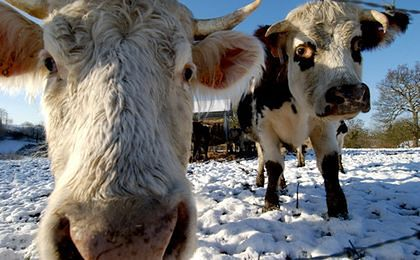 Białoruś zniosła zakaz importu bydła