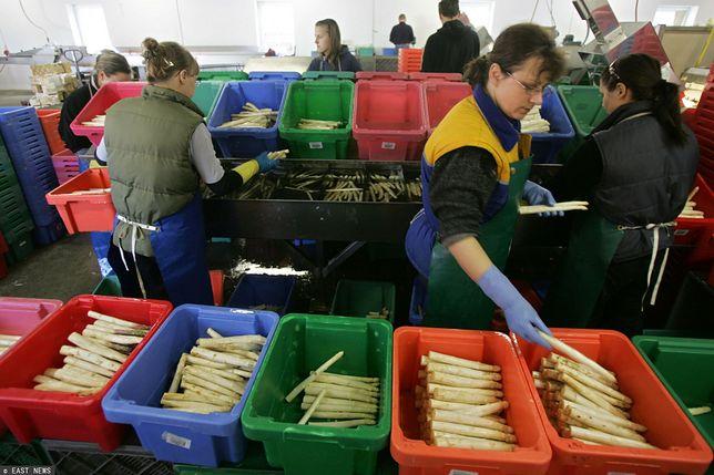 Setki Polaków zatrudnionych na niemieckiej farmie szparagów przebywa na kwarantannie/Zdjęcie ilustracyjne