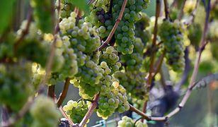 Zmiany klimatyczne sprawiły, że wino wikingów trafiło na międzynarodowe salony