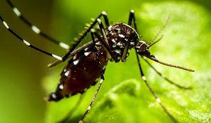 Komar tygrysi w Polsce to przedwczesny alarm. Owad nam nie zagraża