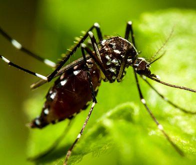 Komar tygrysi coraz bliżej Polski. We Francji pojawiła się groźna choroba przenoszona przez te owady