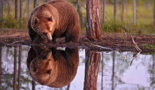 Japończycy walczą z niedźwiedziami. Użyją nowoczesnej technologii