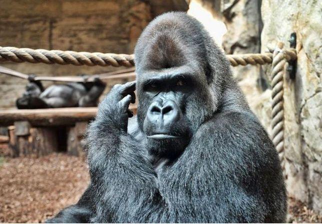 M'Tonge najpiękniejszym gorylem!