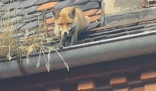 Ciekawski lis utknął na dachu kamienicy w Świdnicy