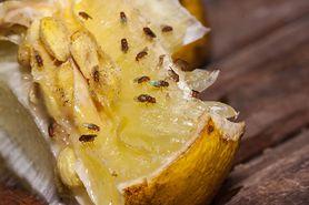 Sprawdzone sposoby na muszki owocówki