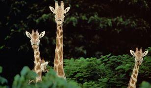 Żyrafy wchodzą do szafy