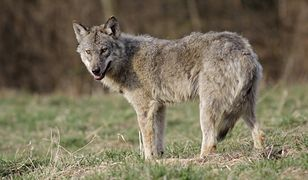 W Bieszczadach zastrzelą jednego wilka. Wataha regularnie wchodziła do wsi.