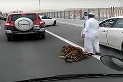 #dziejesiewmoto [297]: tygrys na autostradzie, pechowy egzamin i wypadek na skrzyżowaniu