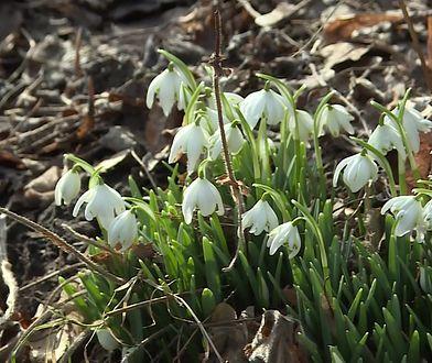 Wiosnę już widać. Kwitną przebiśniegi i ranniki zimowe