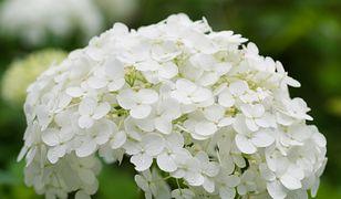 Hortensja to doskonała ozdoba ogrodu